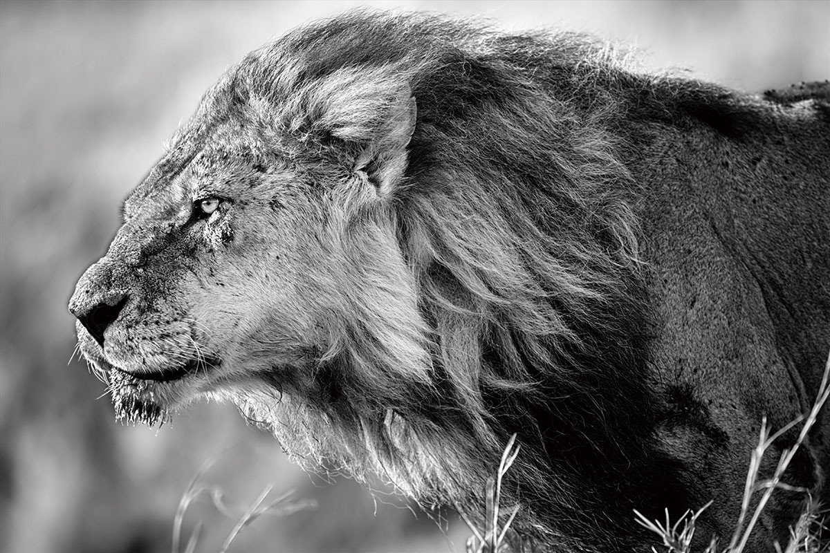 lion black and white