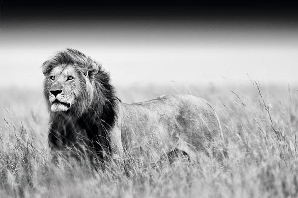 lion black white plakat