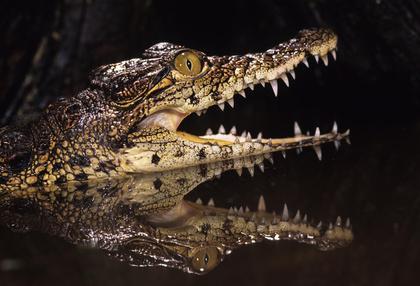 Cuisine Alligator