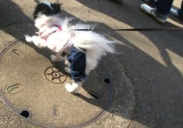 OLYMPIA in Japan: I saw this dog in blue jeans in Yoyogi…