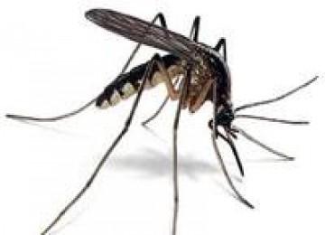Awas...Setetes Air Sudah Cukup untuk  Nyamuk Demam Berdarah Berkembang Biak!