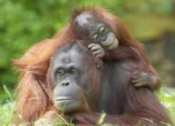 'Rumah' Orangutan Telan Dana Rp 15 Miliar