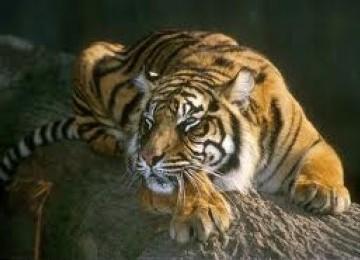 Market online triggers tiger extinction