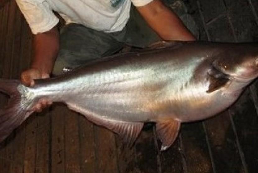 WowPendapatan dari Bisnis Ikan Patin Di Daerah Ini