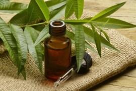 Hasil gambar untuk minyak pohon teh