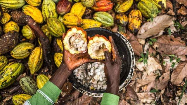 Cocoa trade, climate change and deforestation | resourcetrade ...