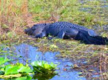 6 of the Best Places to Spot Alligators Near Orlando