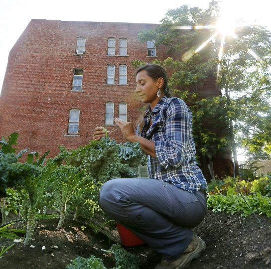 Volunteer Jane Wright harvests Kale in the early morning for Mill City Grows at their urban farm in Lowell, Mass.