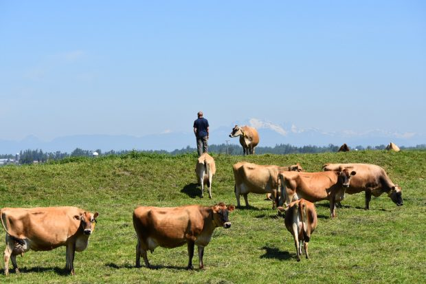 Hans Wolfisberg stands in a pasture with cows around him, looking off into the distance.