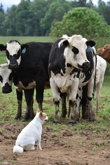 A few black and white cows are watched by the family's farm dog.