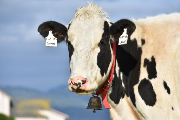 A black and white cow with a bell around its neck looks at the camera.