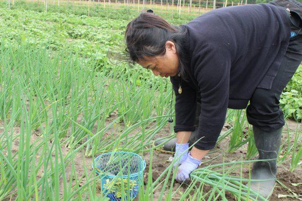 A Hmong farmer tends her onion crop.