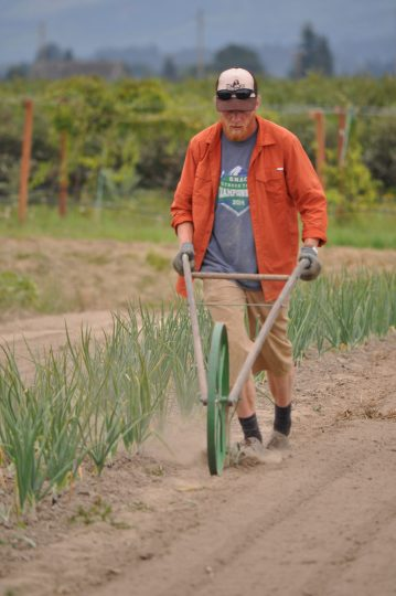A man pushes a manual cultivator down a row of garlic in a field.