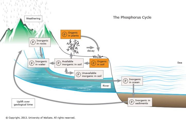 Resultado de imagen de phosphorus cycle