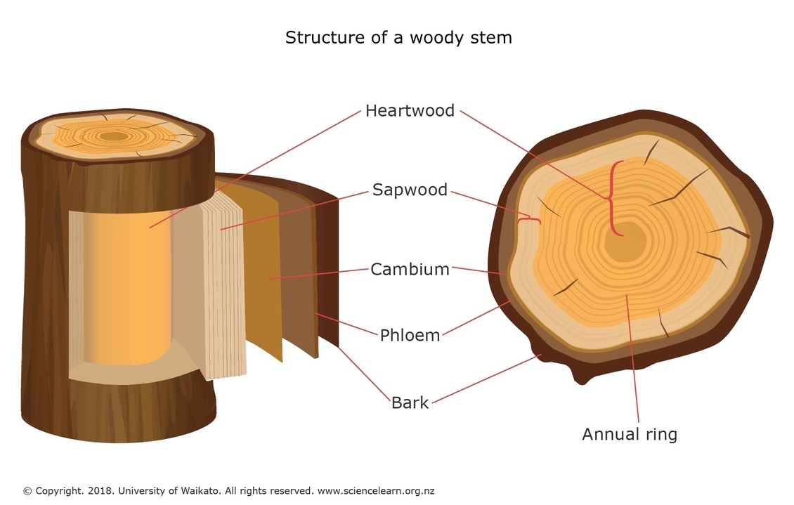 structure of a woody stem u2014 science learning hub tree stem diagram  [ 1130 x 719 Pixel ]