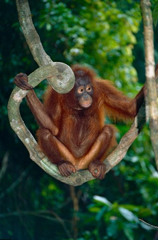 bornean orangutan now critically