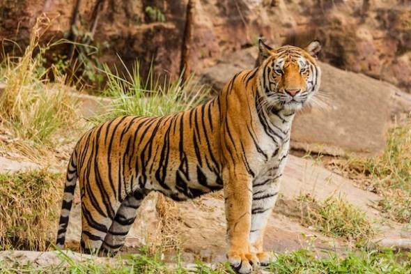 the surprising ways tigers