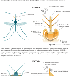 insect ears come in many forms here are three of them and basics about how they work katydid ears  [ 1275 x 3000 Pixel ]