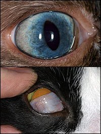 Why do cats have an inner eyelid as well as outer ones ...