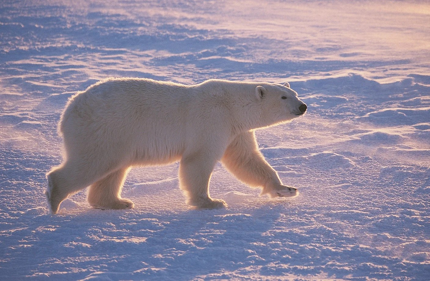 Climate Change Fires Up Polar Bear Treadmill Scientific American