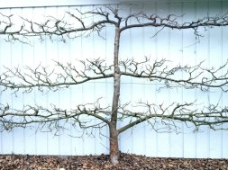 Example of Espaliered Apple Tree