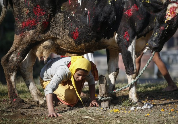 A Nepalese Hindu passes under a cow during the Gai Puja, also known as the Cow Worship Day, as part of the Tihar festival in Kathmandu, Nepal, October 30, 2016.