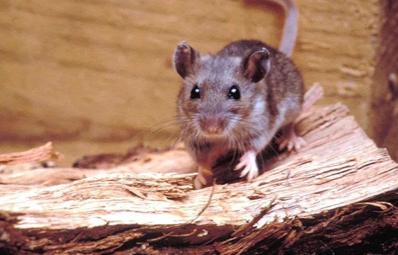 Rare, often fatal, respiratory disease carried by mice ...