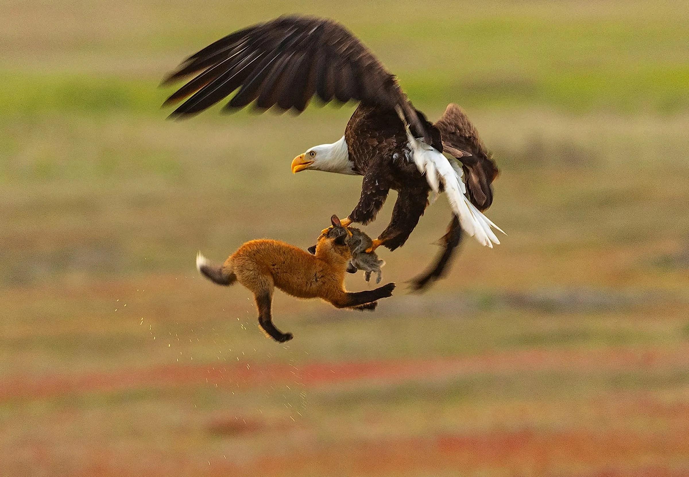 watch bald eagle battles