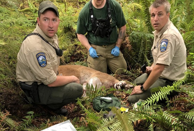 Agents with the Washington State Fish and Wildlife Police tracked and killed this cougar that is believed responsible for attacking two mountain bikers in the woods northeast of Snoqualmie on Saturday, May 19, 2018. One person was fatally injured and the other is in satisfactory condition at Harborview Medical Center.  (Submitted photo)