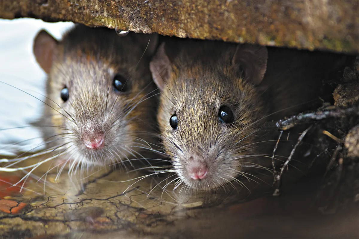 How to prevent a rodent infestation in your home | The Seattle Times