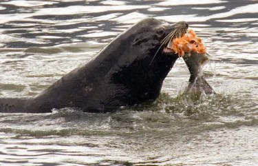 Hundreds Of Sea Lions To Be Killed On Columbia River In Effort To Save Endangered Fish The Seattle Times