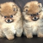 Pomeranian Puppies Available Available Pomeranians Pomeranian Puppies Pomeranian For Sale Akc Pomeranian Pomeranian Puppies For Sale