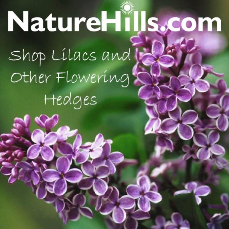 Shop Lilacs