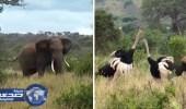 بالفيديو.. فيل يفض الشجار بين ذكري نعامة يتنافسان للفوز بأنثي