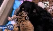 بالفيديو.. كلبة تعتني بثلاث جراء نمر بحديقة حيوان بأستراليا