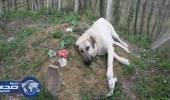 بالفيديو .. كلب يحرص على زيارة قبر صديقه يومياً