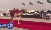 بالفيديو.. استعراض «الإبل» على سجاد بمهرجان المزاين برماح