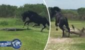 بالفيديو.. صراع بين حصان وتمساح بمحمية أمريكية