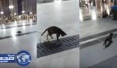 بالفيديو.. قط يقتنص فأراً بعد تربص بالحرم النبوي