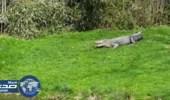 بالفيديو.. كلب شجاع يقفز بوجه تمساح