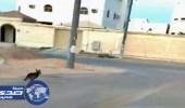 بالفيديو.. مطاردة شابين لذئب شارد بسكاكا في الجوف