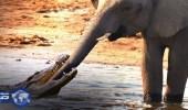 بالفيديو.. معركة عنيفة بين تمساح وفيل صغير