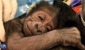 بالفيديو.. عملية ولادة صعبة لغوريلا مهددة بالانقراض