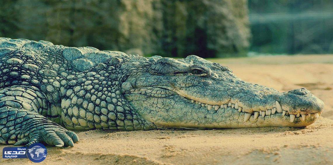بالفيديو.. حارس حديقة يضع رأسه داخل فم تمساح ضخم