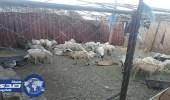 اغلاق ملاحم مخالفة للاشتراطات الصحية بنجران