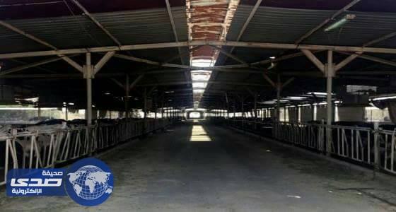 مزرعة أبقار في صحراء قطر تواجه صعوبات بسبب المقاطعة