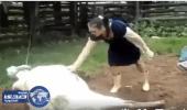 بالفيديو.. بقرة تركل إمرأة بقوة في وجهها