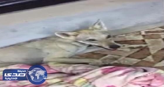 بالفيديو.. ذئب يدخل منزل مواطن بالقريات ويجرح شاب