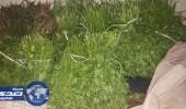 بالصور.. أمانة الشمالية تضبط أعشاب وخضروات ملوثة بالمبيدات