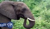 فيل يدوس مدربه حتى الموت في محمية طبيعية